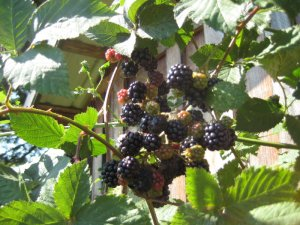 Plump and Ripe Blackberries
