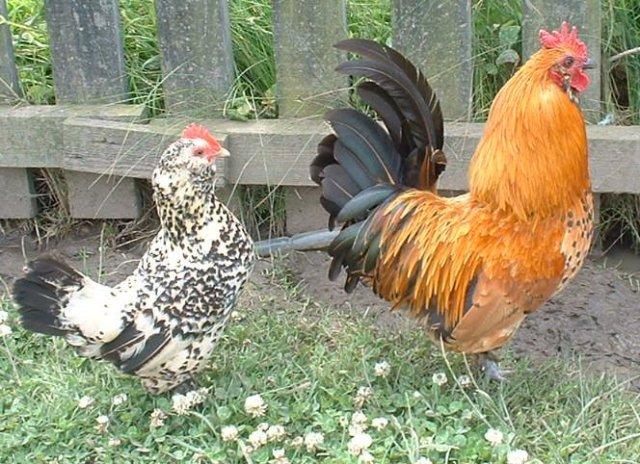 chickens-2311