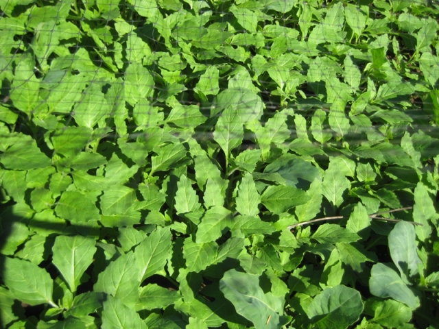 Lambsquarters, nasty weed or exceptional wild vegetable?
