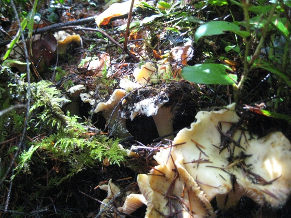 "The ""clustering"" behavior - note the mushroom's deep hole"