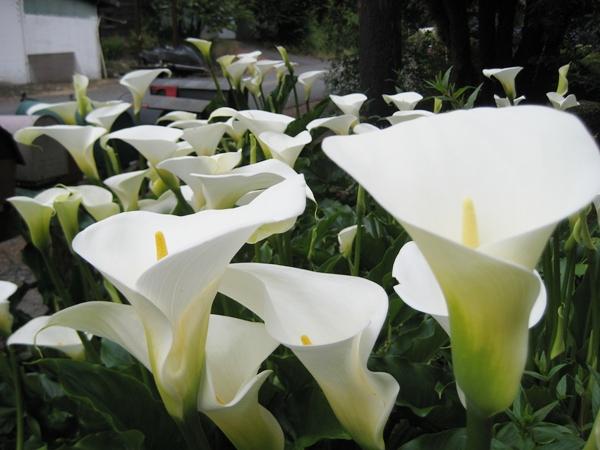 u201cthe calla lilies are in bloom again u2026u201d