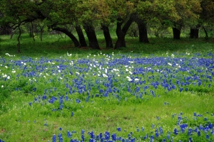 Bluebonnets - The State Flower of Texas