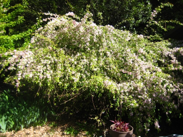 This has nothing to do with my post, but it's my Louisa Weeping Crab apple tree in full bloom - Gorgeous tree!